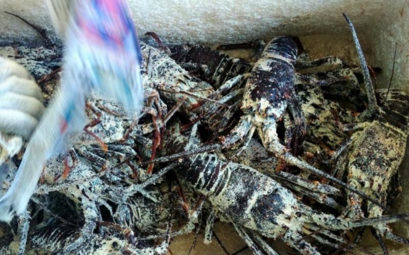 Lobster hidup yang tengah diperiksa di BKIPM Padang sebelum dikirim melalui jalur udara di Bandara Internasional Minangkabau - Bisnis/Noli Hendra