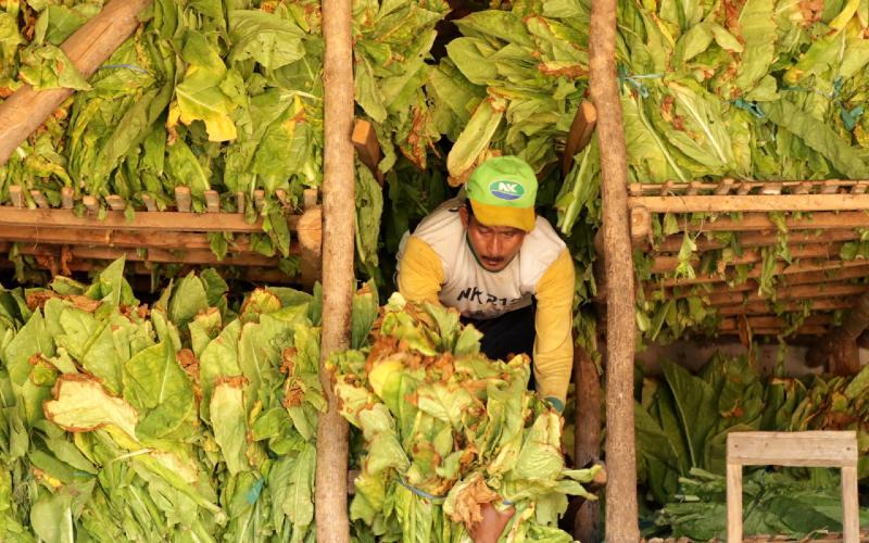 Pekerja memasukan daun tembakau hasil panen ke dalam gudang di Sidowangi Wongsorejo, Banyuwangi, Jawa Timur, Senin (21/9/2020). Petani setempat mengaku terpaksa menyimpan hasil panen di gudangnya dikarenakan harga tembakau turun dan kesulitan menjual hasil panennya karena tidak ada permintaan dari pabrik.  - ANTARA