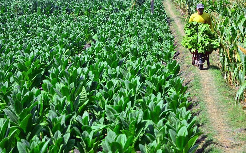 Petani membawa daun tembakau saat panen di persawahan Dusun Welar, Toroh, Grobogan, Jawa Tengah, Senin (7/9/2020).  ANTARA FOTO - Yusuf Nugroho