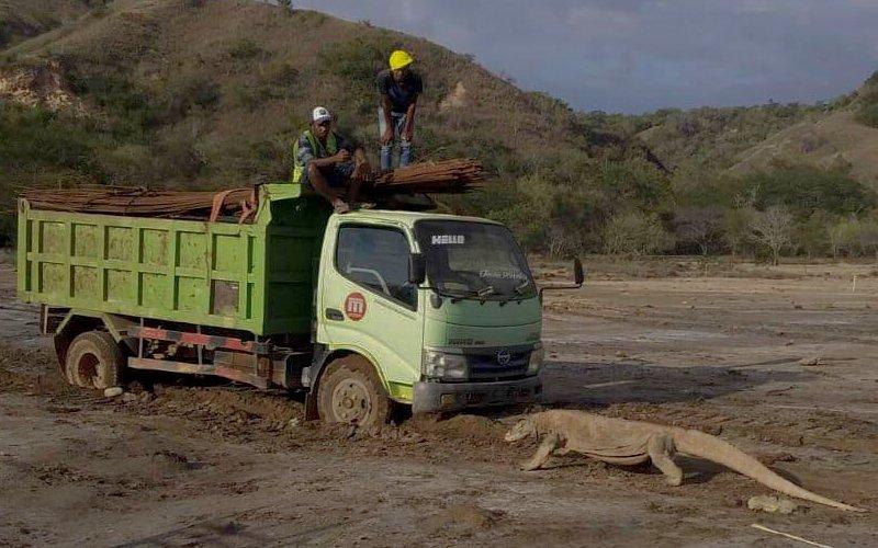 Satwa Komodo tampak berpapasan dengan sebuah kendaraan pengangkut material proyek Geopark di Pulau Rinca, Manggarai, Nusa Tenggara Timur, yang merupakan bagian dari Taman Nasional Komodo atau TNK - Twitter/@KawanBaikKomodo
