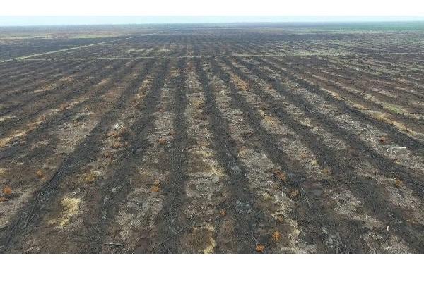Foto udara lahan gambut yang dijadikan areal tanam sawit: masih tampak sisa terbakar. - KLHK/Istimewa