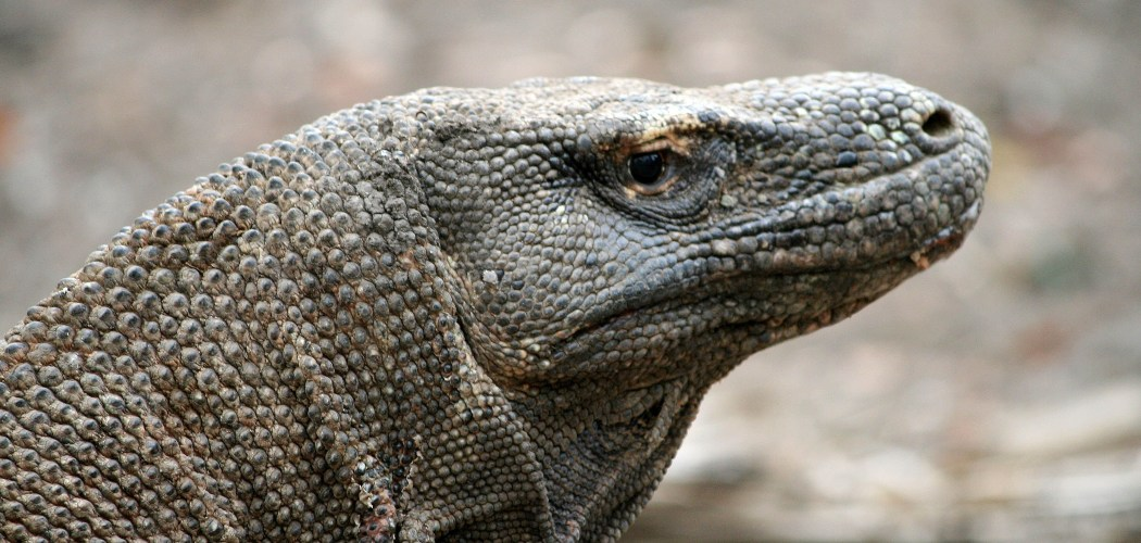 Komodo berada di habitat alaminya di Pulau Komodo, Nusa Tenggara Timur (NTT), Sabtu (25/10/2008). - Bloomberg/Adam Majendie