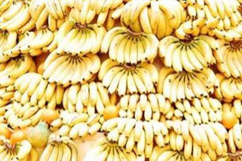 Bisnis pisang Cavendish. - Antara