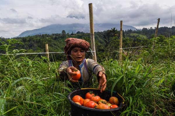 Petani memanen tomat di sebuah lahan pertanian di lereng gunung Sinabung, Karo, Sumatera Utara, Minggu (7/6). - ANTARA