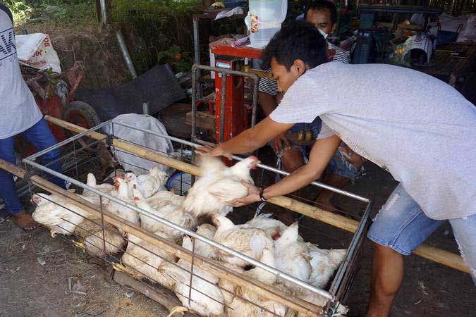 Peternak menimbang ayam broiler jenis pedaging yang dijual murah seharga Rp8.000 per kilogram di sentra peternakan ayam broiler di Tulungagung, Jawa Timur, Rabu (26/6/2019). - ANTARA/Destyan Sujarwoko