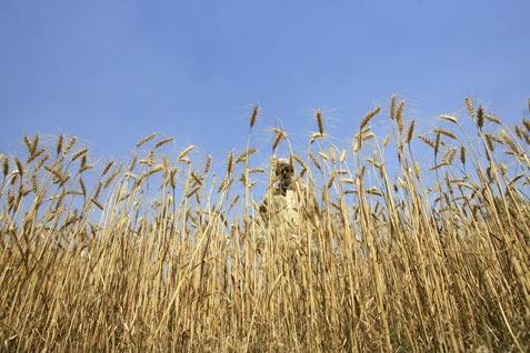 Ilustrasi tanaman gandum. - Reuters