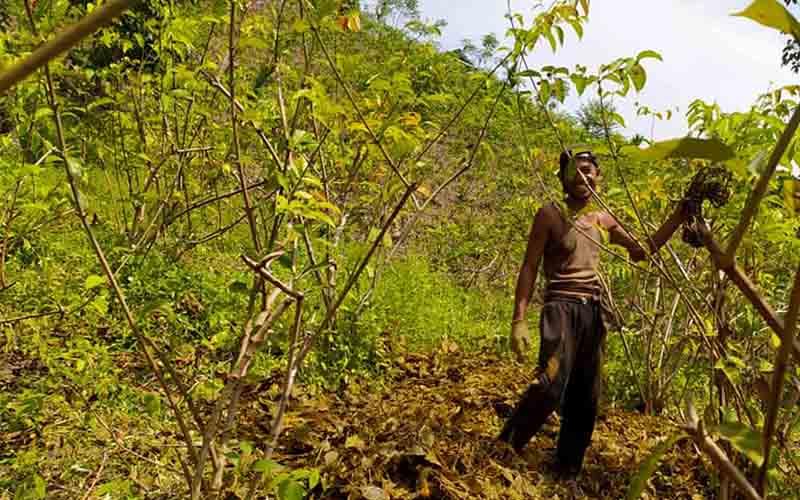 Seorang petani tengah memetik daun gambir di kebun di Pesisir Selatan.  - Bisnis/Noli Hendra