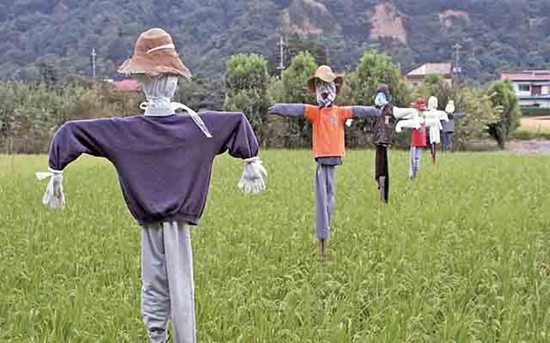Ilustrasi - Orang-orangan pengusir burung di sawah - Wikipedia