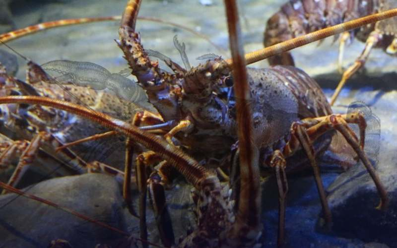 Budidaya lobster. - LIPI