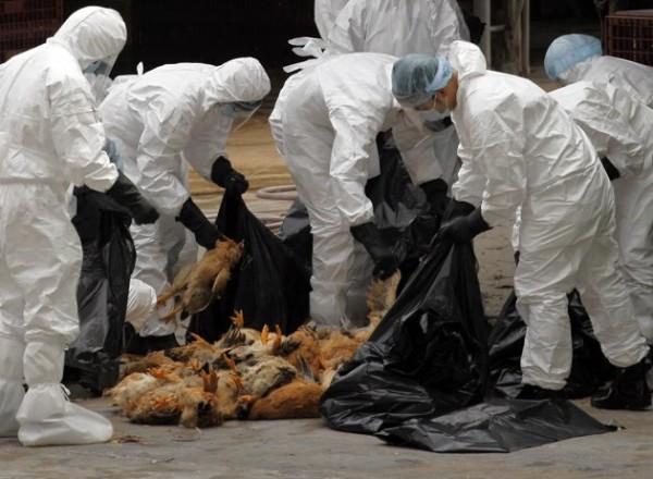 Flu burung semakin mengkhawatirkan pemerintah Inggris. - ilustrasi