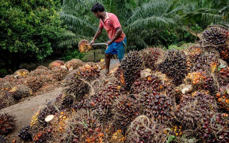 Pekerja memindahkan tandan buah segar sawit. - Bloomberg/Sanjit Das