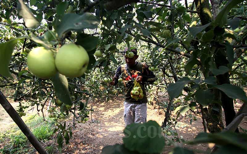 Petani memetik buah apel di salah satu perkebunan di kawasan Batu, Malang, Jawa Timur, Rabu (25/9/2019). Bisnis - Arief Hermawan P
