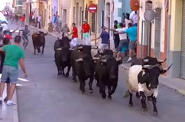 Festival banteng di Spanyol - Telegraph