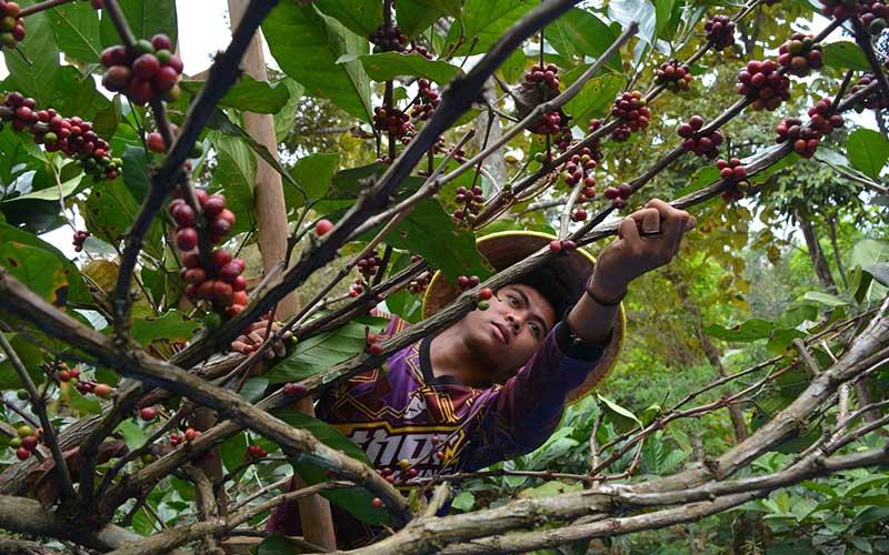 Petani memanen kopi ekselsa di lereng pegunungan Anjasmoro Desa Panglungan, Kabupaten Jombang, Jawa Timur, Kamis (10/9/2020). Kopi ekselsa atau yang biasa disebut