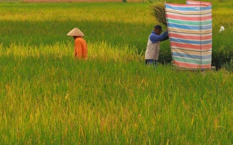 Petani di daerah Kecamatan Koto Tangah, Kota Padang, Sumatra Barat, tengah memanen padi jelang penutupan tahun 2020 dan kondisi tanaman padi di Padang dapat dikatakan cukup bagus.  - Bisnis/Noli Hendra