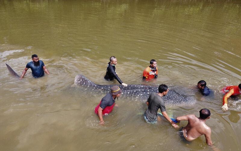 Petugas BKSDA Seksi Konservasi II Sulawesi Tenggara berusaha menyelamatkan seekor hiu paus tutul (Rhincodon typus) yang terdampar di Sungai Wanggu, Kendari, Sulawesi Tenggara, Sabtu (2/1/2021). Seekor hiu paus tutul dengan panjang sekitar empat meter ditemukan warga terdampar di Sungai Wanggu akibat air sungai surut dan membuat tim BKSDA kesulitan mengevakuasi satwa itu hingga ke Teluk Kendari dan harus mendorong sekitar lima kilometer. - Antara/Jojon.
