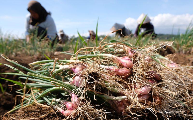 Petani menanam bawang. Food Estate merupakan konsep pengembangan pangan yang dilakukan secara terintegrasi di suatu kawasan. Food estate juga dapat menjadi lahan produksi pangan nasional, cadangan pangan, dan distribusi pangan.  - Antara