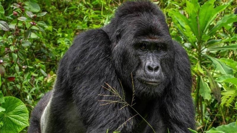 Gorila terinfeksi positif virus corona (Covid-19). - ilustrasi