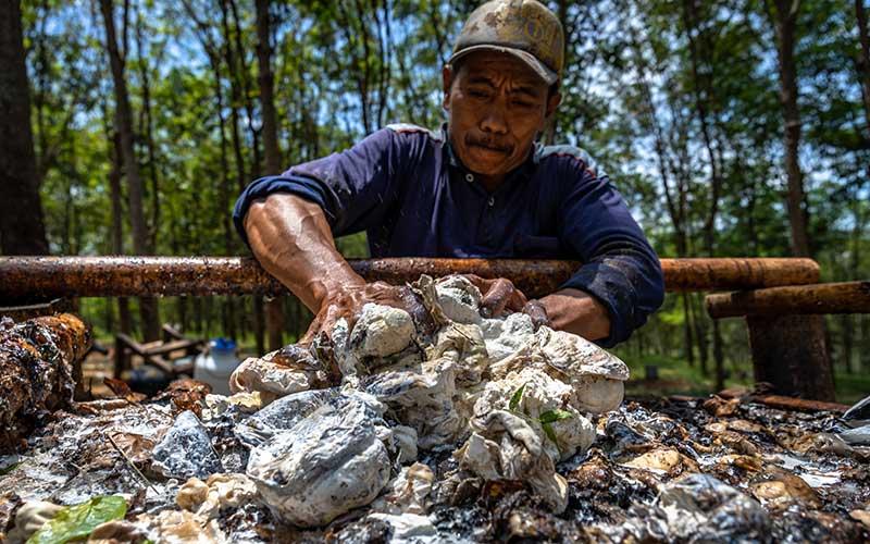 Seorang pekerja menyortir lump karet (pembekuan getah karet secara alami) hasil dari Perkebunan Ngobo Afdeling Klepu PT Perkebunan Nusantara IX di Bergas, Kabupaten Semarang, Jawa Tengah, Senin (14/9/2020). ANTARA FOTO - Aji Styawan
