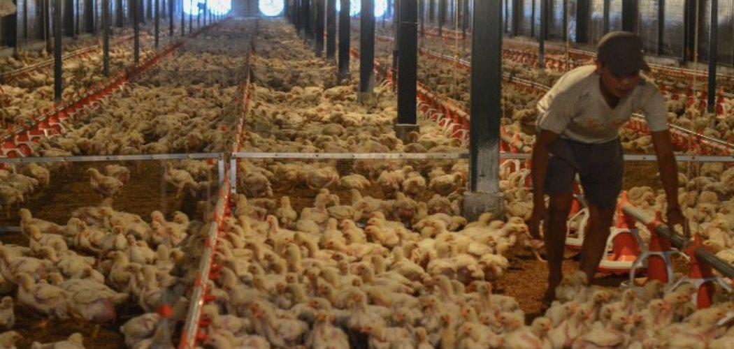 Pekerja memeriksa kondisi kandang dan ayam di peternakan ayam modern Naratas, Desa Jelat, Kabupaten Ciamis, Jawa Barat, Sabtu (11/4 - 2020).  - Antara