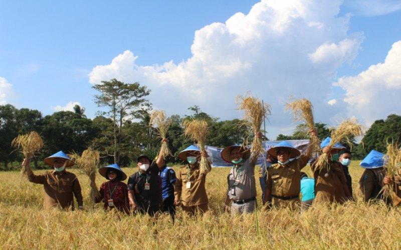 Jajaran Pemerintah Kabupaten Ogan Komering Ilir (OKI) melakukan panen raya padi di Desa Gemuruh, Kecamatan Jejawi, Kabupaten OKI. istimewa