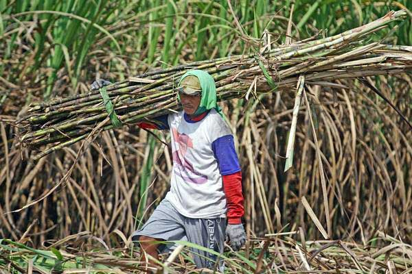 Buruh memanen tebu untuk dikirim ke pabrik gula di Ngawi, Jawa Timur, Selasa (8/8). - ANTARA/Ari Bowo Sucipto