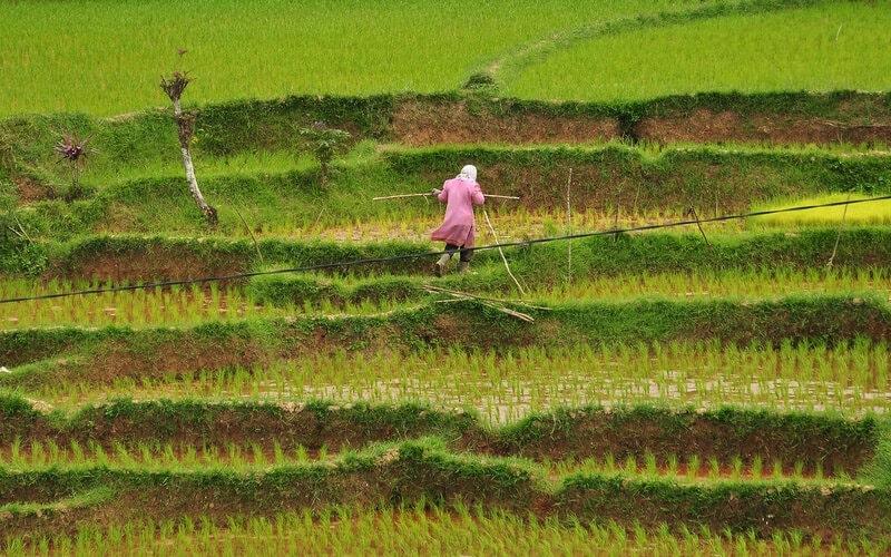 Salah seorang petani tengah berada di sawah Desa Tabek, Talang Babungo, Kecamatan Hiliran Gumanti, Kabupaten Solok, Sumatra Barat. Desa ini merupakan salah satu desa penghasil beras terbaik di Sumbar. - Bisnis/Noli Hendra
