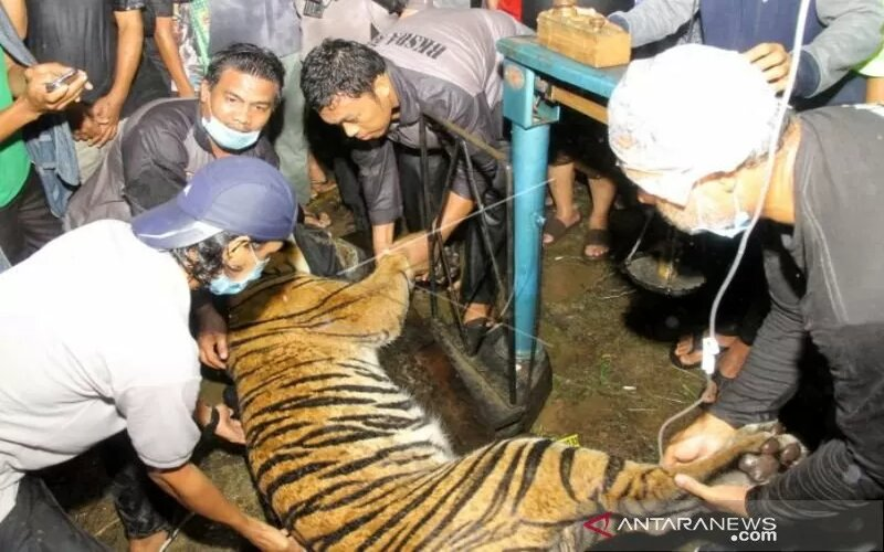 Dokumentasi - Petugas BKSDA Aceh bersama tim dokter hewan menimbang Harimau Sumatera liar (Panthera tigris sumatrae) saat proses evakuasi di Desa Pangkalan Sulampi, Kecamatan Suro, Kabupaten Aceh Singkil, Ahad (24/1). - Antara/Syifa Yulinnas.