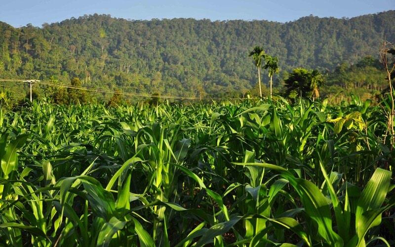 Perkebunan jagung yang ada di daerah Air Dingin, Balai Gadang, Koto Tangah, Padang, Sumatra Barat, di daerah itu terdapat perkebunan jagung yang cukup luas. - Bisnis/Noli Hendra