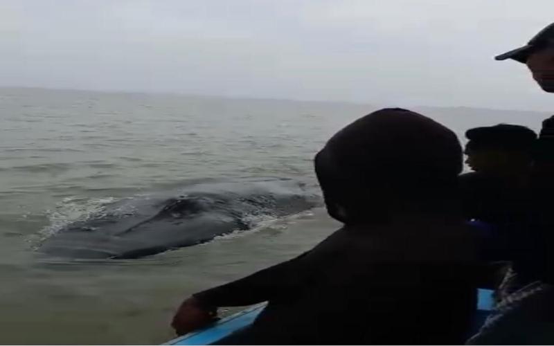 Warga bersama tim gabungan di Kabupaten Ogan Komering Ilir (OKI) berhasil mengevakuasi ikan paus terdampar ke laut lepas. - Istimewa