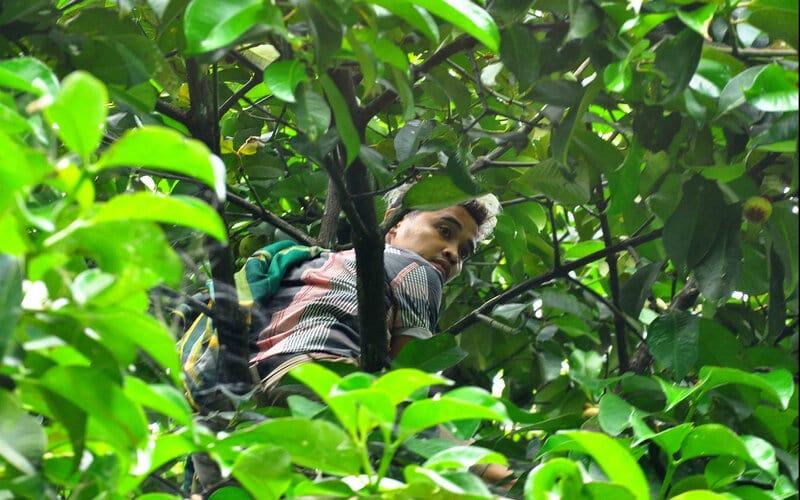 Seorang petani manggis di Jawa Gadut, Kelurahan Limau Manih, Kecamatan Pauh, Kota Padang, Sumatra Barat, Yosse, tengah memetik buah manggis yang ada di kebunnya, Selasa (26/1/2021). - Bisnis/Noli Hendra