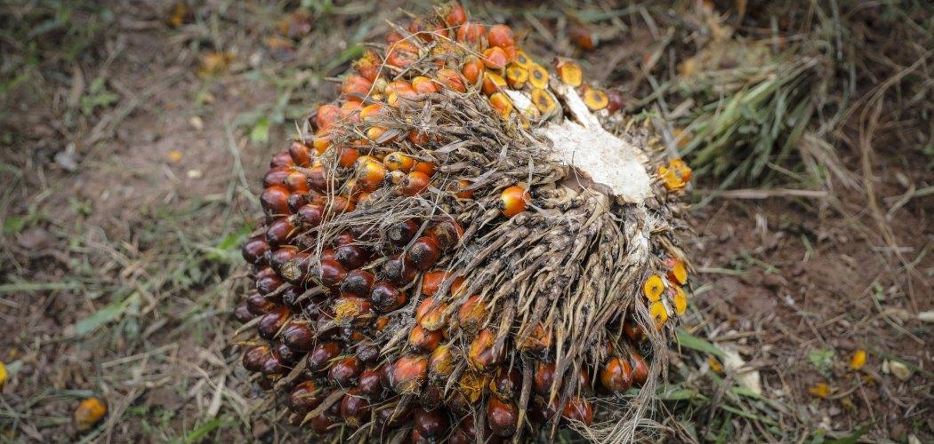 Tandan buah segar kelapa sawit.  - Joshua Paul/Bloomberg