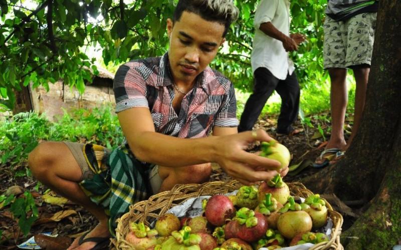 Seorang petani manggis tengah mengumpulkan buah manggis yang baru saja dipanennya di daerah Jawa Gaduik, Kelurahan Limau Manih, Kecamatan Pauh, Kota Padang, Sumatra Barat.  - Bisnis/Noli Hendra