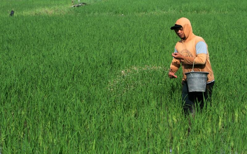 Petani memupuk sawahnya di area persawahan Somba Opu, Kabupaten Gowa, Sulawesi Selatan, Sabtu (30/1/2021). Kementerian Pertanian menetapkan alokasi pupuk bersubsidi tahun 2021 sebesar sembilan juta ton serta 1,5 juta liter pupuk organik cair untuk memenuhi kebutuhan petani. - Antara/Arnas Padda.