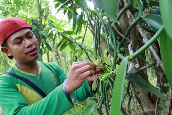 Petani mengawinkan bunga tanaman vanili di Desa Onondowa, Kecamatan Rampi, Kabupaten Luwu Utara, Sulawesi Selatan, Selasa (15/1/2019). - Bisnis/Paulus Tandi Bone