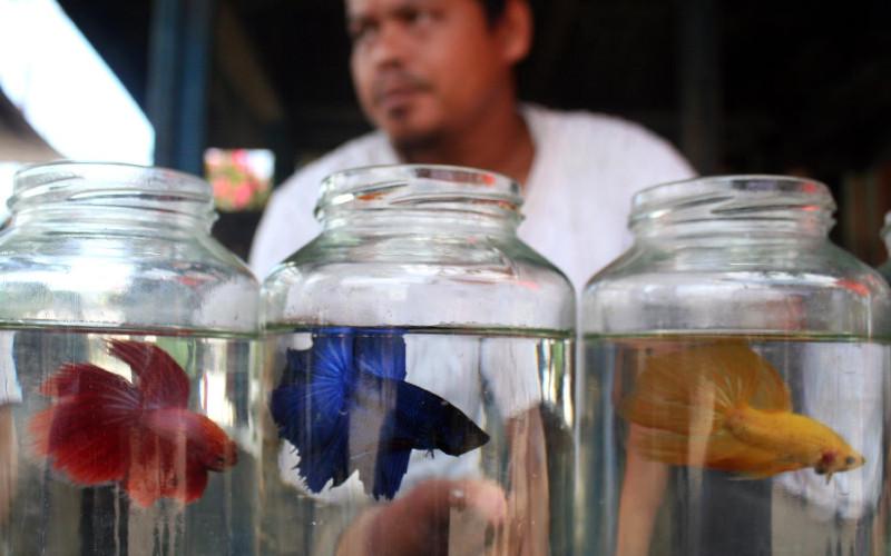 IKAN CUPANG: Yasin (31) penjual ikan cupang hias memperlihatkan ikan dagangannya di Pasar Minggu, Airbatu Asahan, Sumatra Utara, Minggu (03/04). Ikan yang memiliki bentuk dan warna tubuh menarik hasil peternakannya tersebut dijualnya dengan harga bervariasi mulai Rp5.000 hingga Rp50.000 per ekor tergantung jenisnya.  - BISNIS.COM
