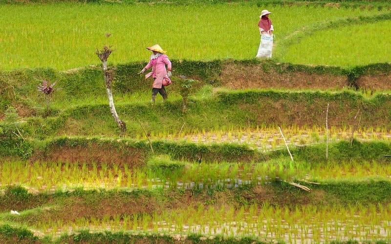 Seorang ibu membawa anaknya ke sawah untuk menyabit rumput yang akan diberikan untuk hewan ternak sapi di Desa Tabek, Talang Babungo, Kecamatan Hiliran Gumanti, Kabupaten Solok, Sumatra Barat.. - Bisnis/Noli Hendra