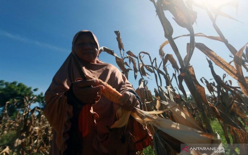 Seorang petani memetik jagung hibrida yang akan dijadikan benih di Pilohayanga, Kabupaten Gorontalo, Gorontalo, Selasa (16/2/2021). - ANTARA/Adiwinata Solihin