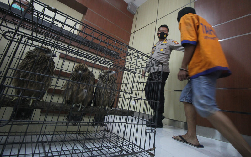 Polisi menunjukkan tersangka dan barang bukti kasus perdagangan satwa dilindungi di Polda Jawa Timur, Surabaya, Jawa Timur, Rabu (17/2/2021). Direktorat Reserse Kriminal Khusus Polda Jawa Timur menangkap tiga tersangka NR, VPE dan NK atas kasus dugaan memperdagangkan satwa dilindungi serta mengamankan burung Kakatua Maluku (Cacatua moluccensis), burung Elang Brontok (Nisaetus cirrhatus), burung Elang Jawa (Nisaetus bartelsi) dan Lutung Budeng (Trachypithecus auratus). - Antara/Didik Suhartono.