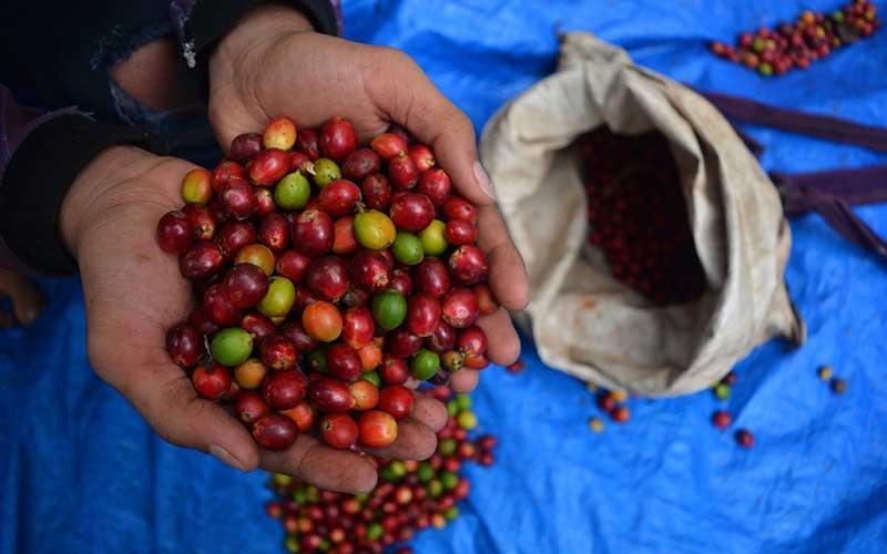 Petani menunjukkan buah kopi ekselsa di lereng pegunungan Anjasmoro Desa Panglungan, Wonosalam, Kabupaten Jombang, Jawa Timur, Kamis (10/9/2020). Kopi ekselsa atau yang biasa disebut