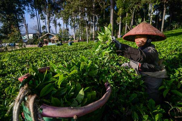 Pekerja memanen daun teh di kebun milik PTPN VIII, Desa Kertasari, Kabupaten Bandung, Jawa Barat, Senin (17/12/2018). - ANTARA/Raisan Al Farisi