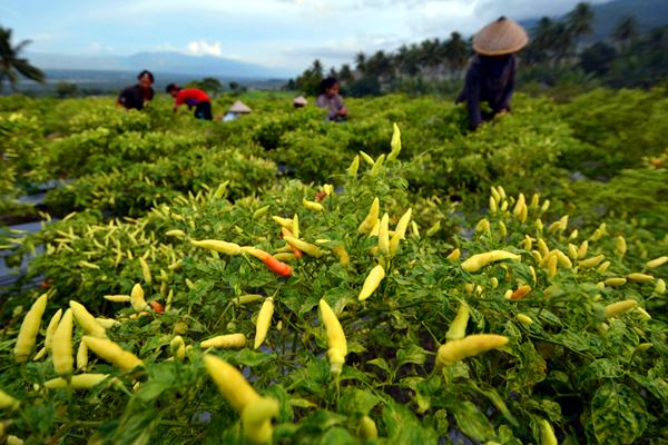 Petani memanen cabai rawit di Desa Porame, Kecamatan Marawola, Sigi, Sulawesi Tengah, Kamis (16/3). - Antara/Basri Marzuki