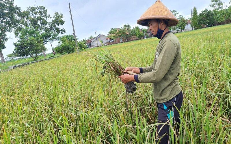 Petani asal Klaten, Karno tengah mengecek padi miliknya. - Pemprov Jateng