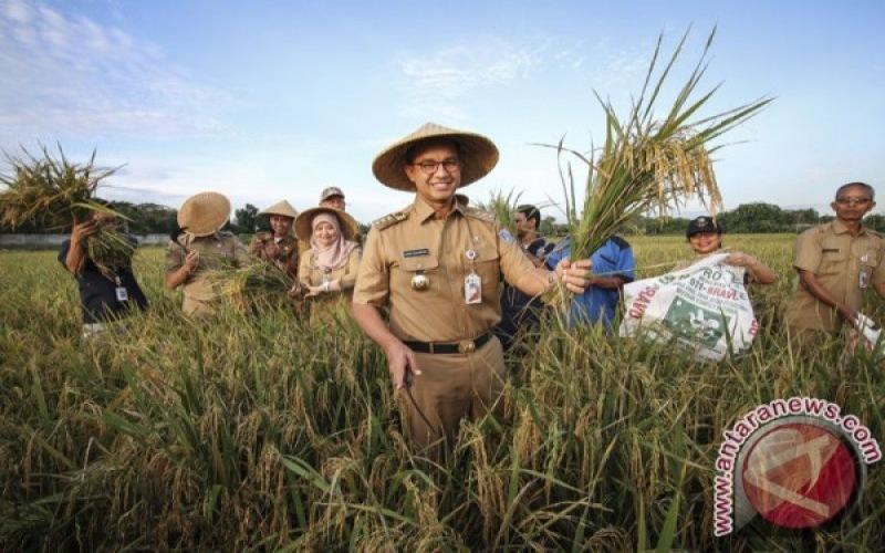 Gubernur DKI Jakarta Anies Baswedan menunjukkan tanaman padi saat panen raya di areal pertanian Jalan Inspeksi BKT Timur, Cakung, Jakarta, beberapa waktu lalu. - ANTARA/Dhemas Reviyanto