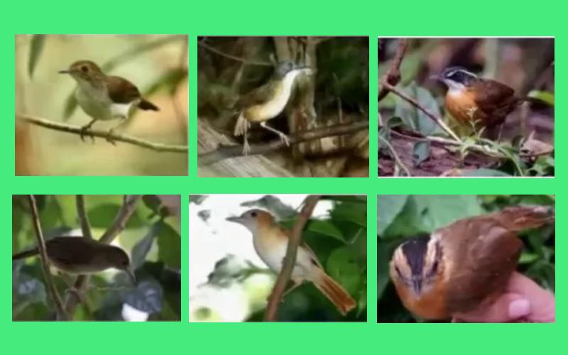 Burung pelanduk  - ANTARA