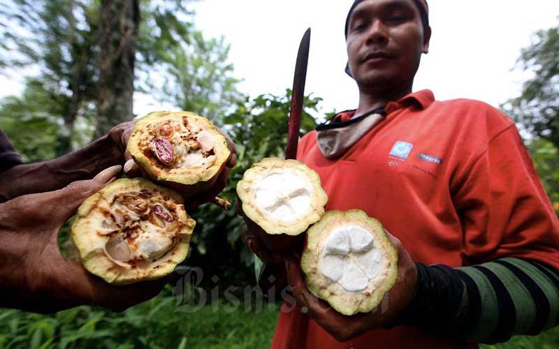 Perbandingan kualitas biji kakao yang buruk dan baik. - Bisnis/Rachman
