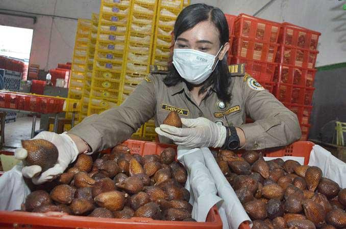 Petugas Balai Karantina Pertanian Kelas I Denpasar memeriksa buah Salak Gula Pasir siap ekspor. - Antara/Fikri Yusuf