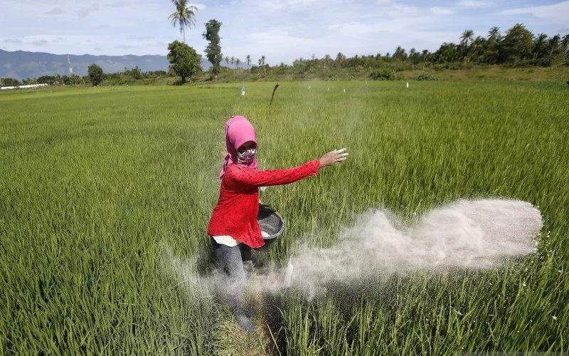 Petani menabur pupuk pada tanaman padi. - Antara