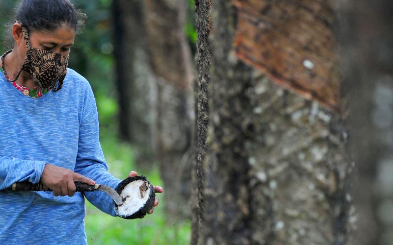 Buruh tani memanen getah karet di Desa Tunas Baru, Sekernan, Muarojambi, Jambi, Kamis (30/4 - 2020). Buruh tersebut mendapatkan upah 50 persen dari hasil penjualan getah yang dipanen. ANTARA