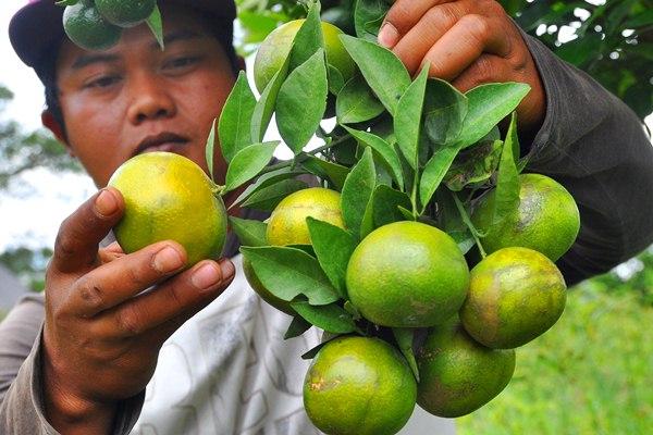Warga memetik jeruk Siam Madu atau jeruk Berastagi di perkebunan kawasan dataran tinggi Karo, Merek, Karo, Sumatra Utara, Selasa (3/4). - Antara/Anis Efizudin